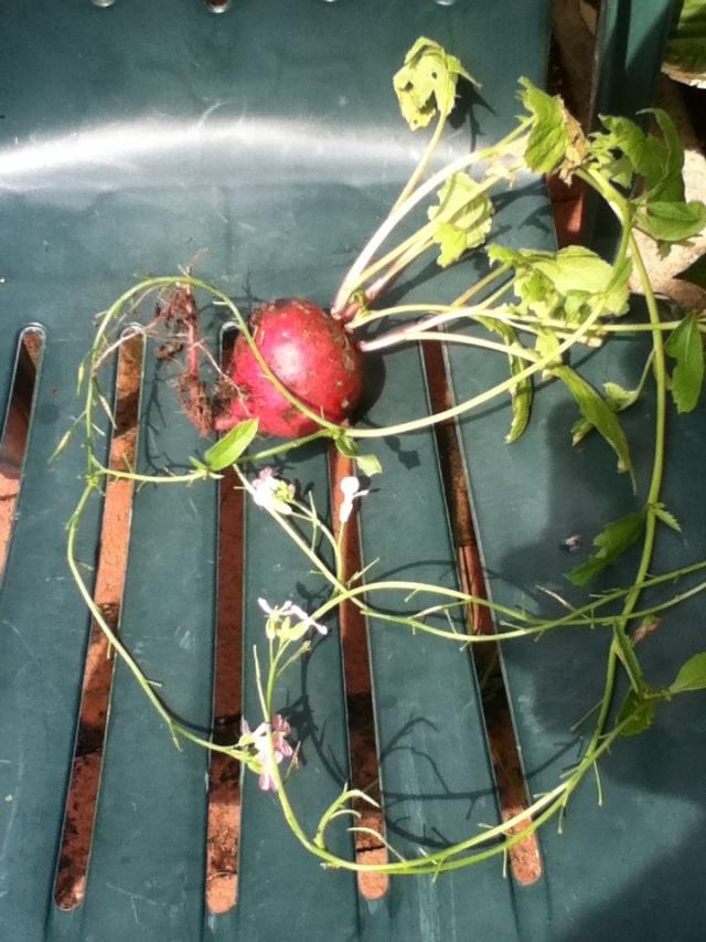 Radishes radishes