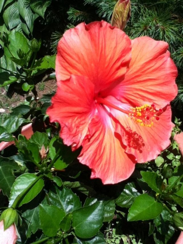 Her hibiscus