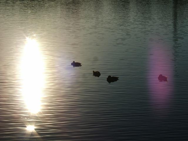 Feeding the ducks sunshine